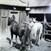 Leo 'Chum' Harriden, grooming horse, Lanyon stock yards, c. 1945